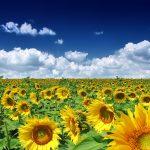 گل آفتابگردان 150x150 - tokhmeh-aftab03