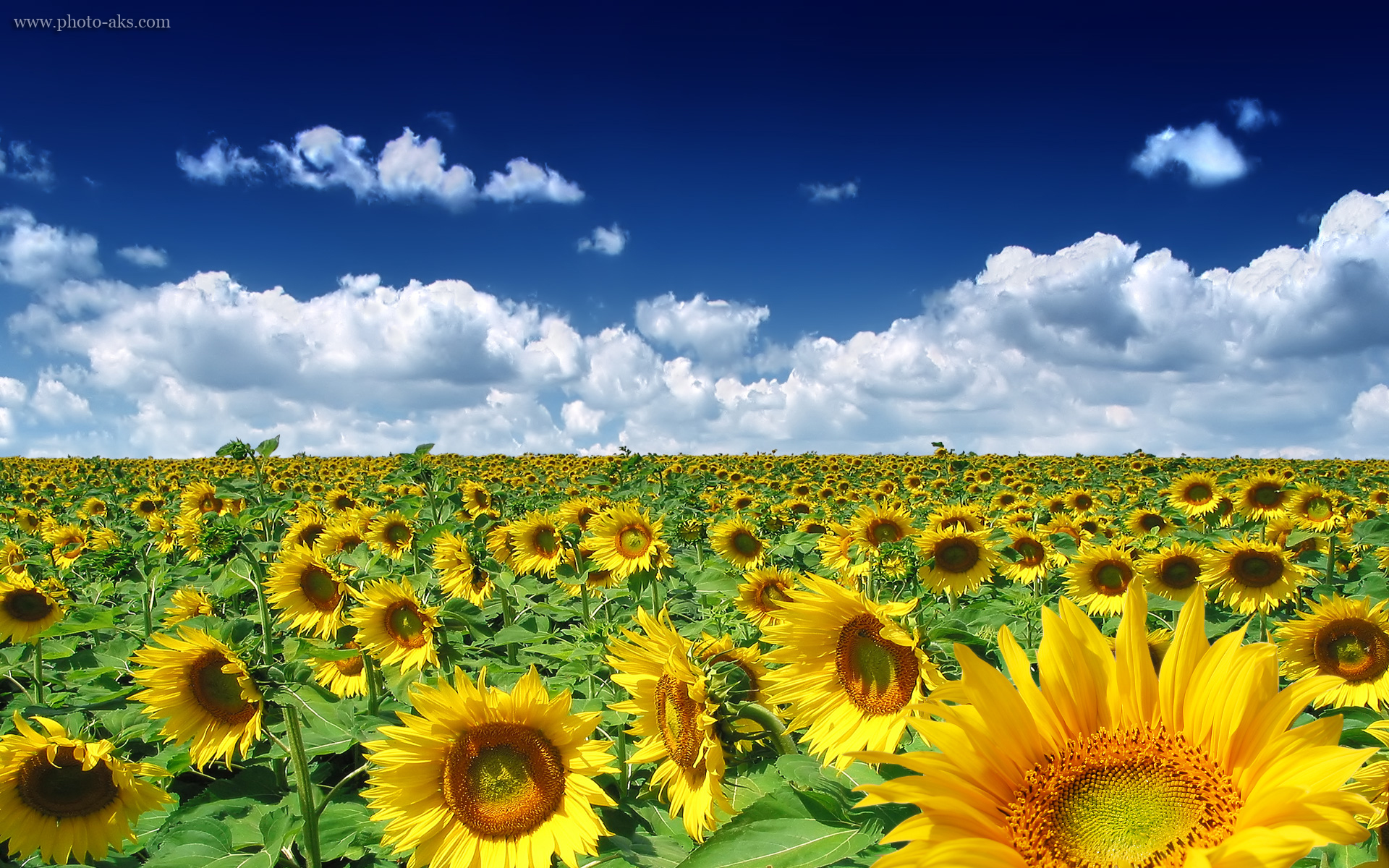 گل آفتابگردان - مزرعه-گل-آفتابگردان